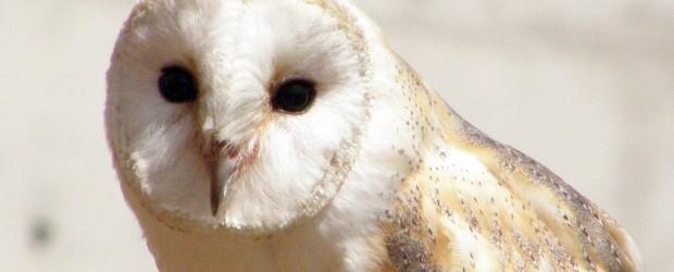 Barn Owl Surveys