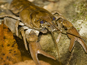 white-clawed-crayfish-smallpic